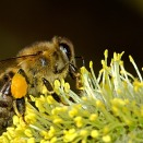 bees-18192_640