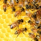 honey-bees-326337_640
